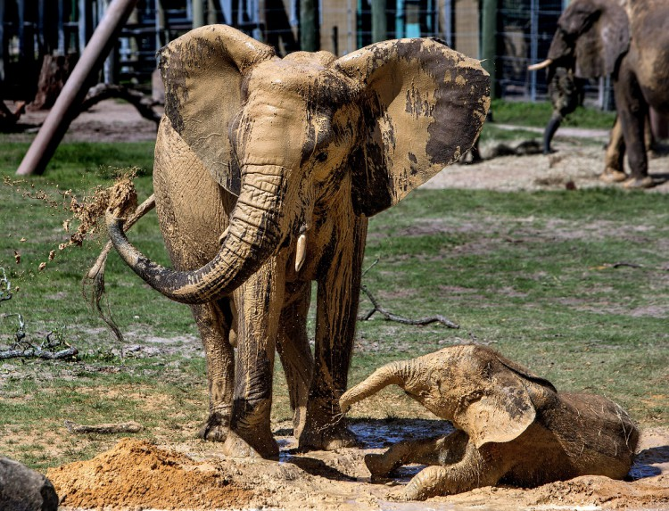 Elephant Day Mud