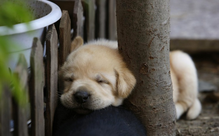 A 29-day-old Labrador puppy sleeps against a tree at a courtyard in Beijing
