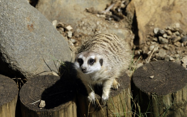 South Africa Meerkat