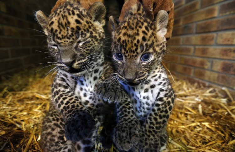 Two unnamed female Sri Lankan baby leopards are seen in a zoo in Maubeuge