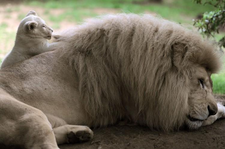 FRANCE-NATURE-ANIMALS-LION