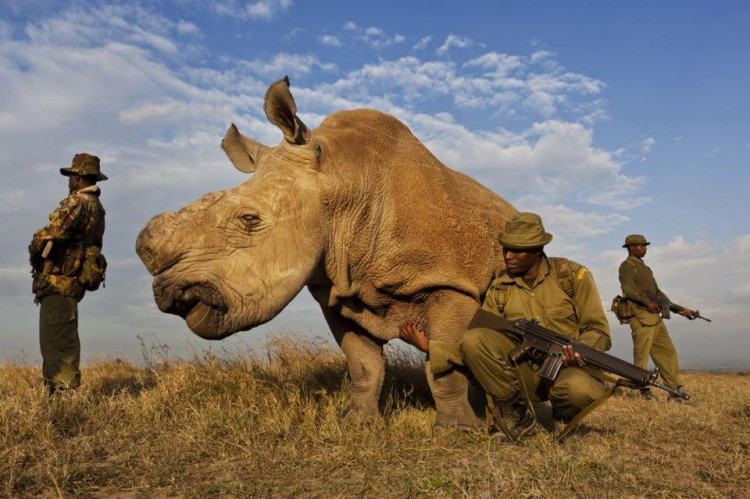 Kenyans-rare-white-rhino-is-protected-by-armed-bodyguards