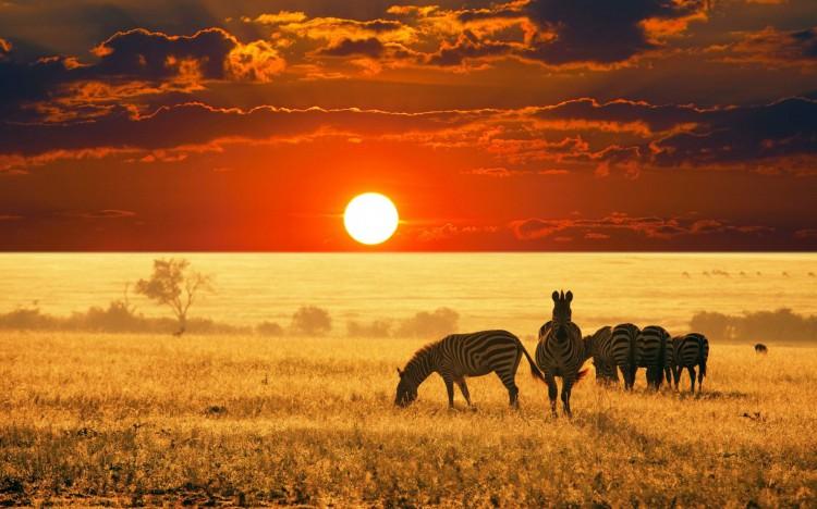 zebry-v-afrike-na-fone-zakata-solnca