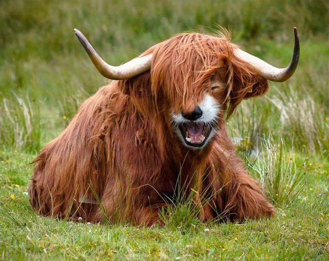 Highland-Red-Pandow