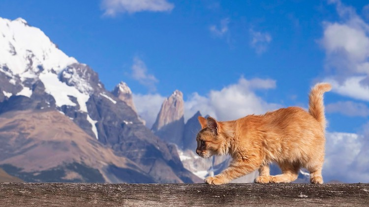 Maine-Coon-Cat-Nature