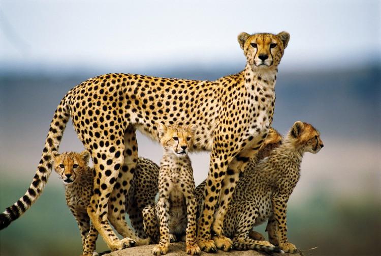 Cheetah Mom and Cubs, Masai Mara, Kenya