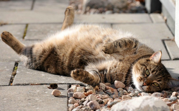 very_lazy_cat