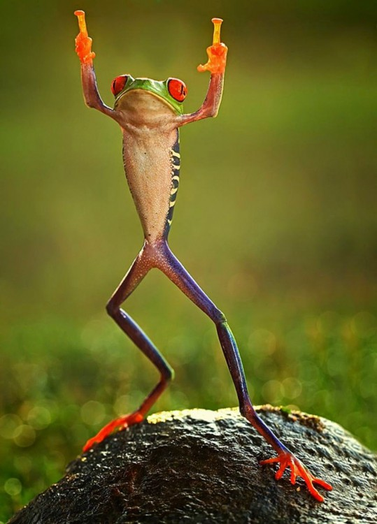 11523210-R3L8T8D-1000-0ashikhei-goh-of-indonesia-frog-flipping-the-double-bird-not-photoshopped-771676