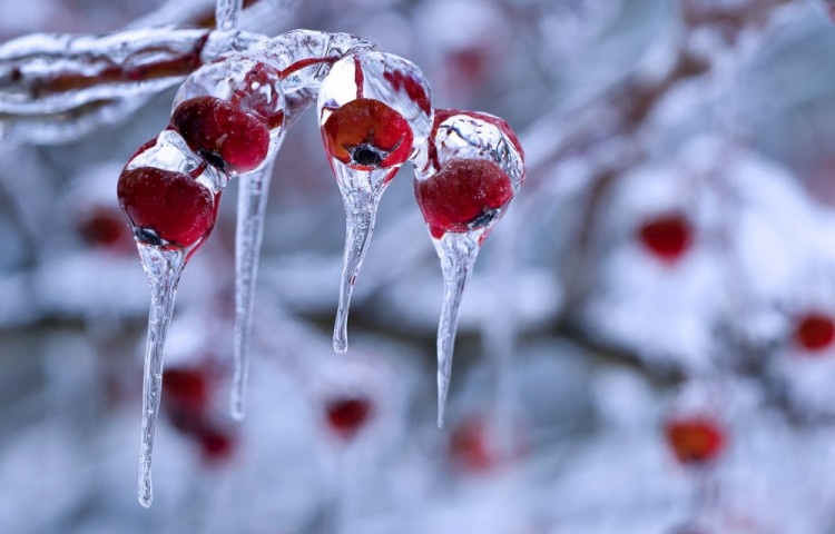 11529660-R3L8T8D-1000-winter-berry-3