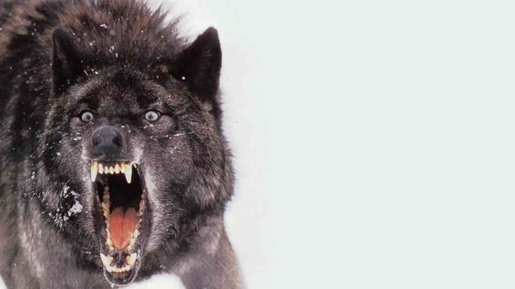 black_wolf-898156