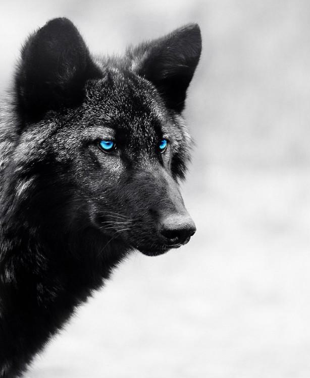 black_wolf_by_achommakuoi-d550pv7