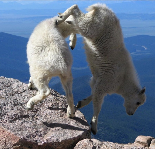 crazy goats on cliffs_4