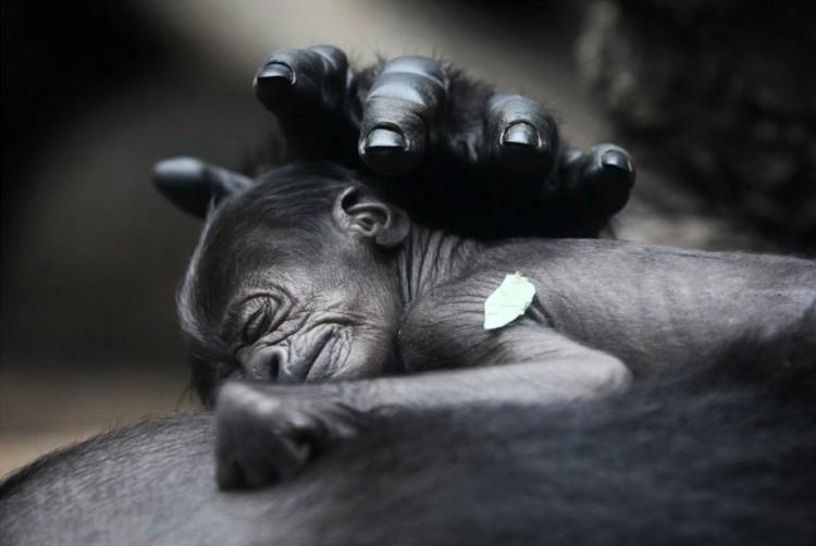 gorilla-i-detenysh