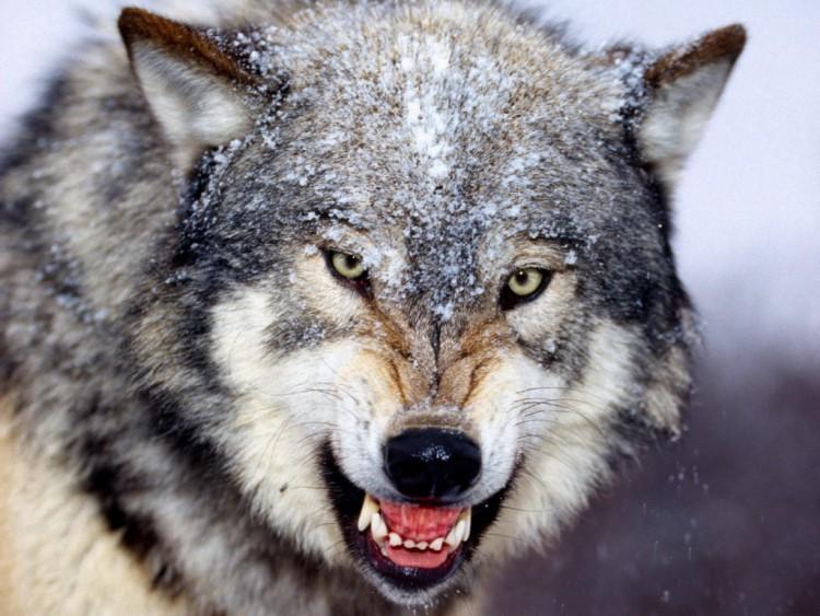 snarling_gray_wolf_wallpaper-1024x768