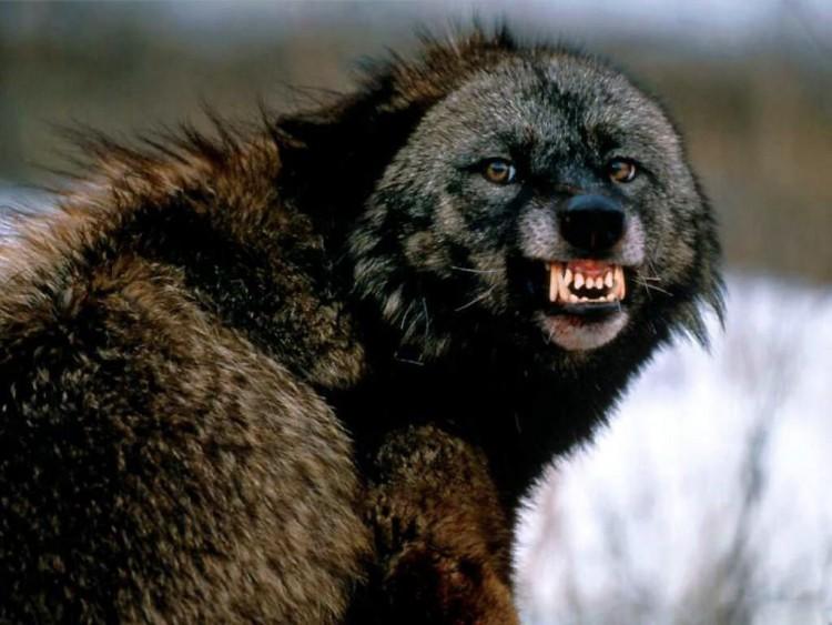 snarling_wolf_montana-1024x768