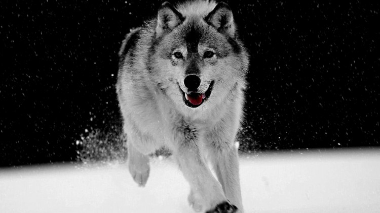 white-wolf-on-the-snow