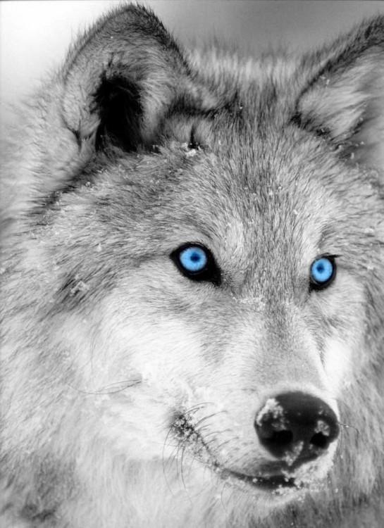 winter__s_wolf_by_twilightstar7733-d32tgil