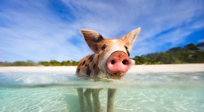 Развлечения Багамских островов — плавающие свиньи