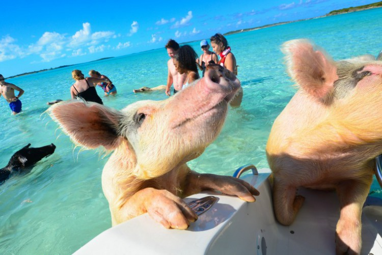 Bahamas_Exuma_SwimmingPigs2