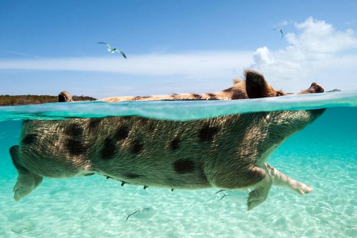 Swimming-Pigs-Bahamas-Big-Major-Cay-Pig-Island