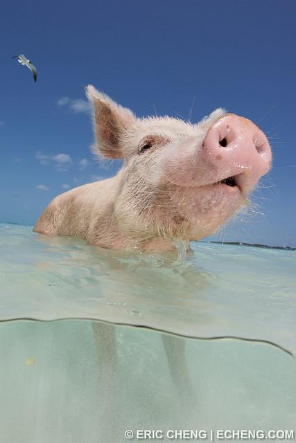 pigs-beach-bahamas-exuma-swimming-pigs-09