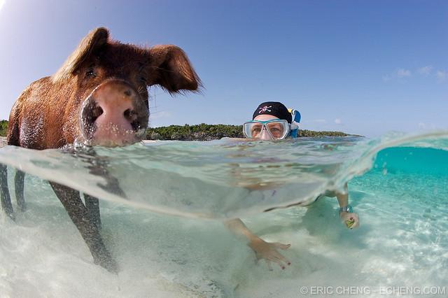 pigs-beach-bahamas-exuma-swimming-pigs-19