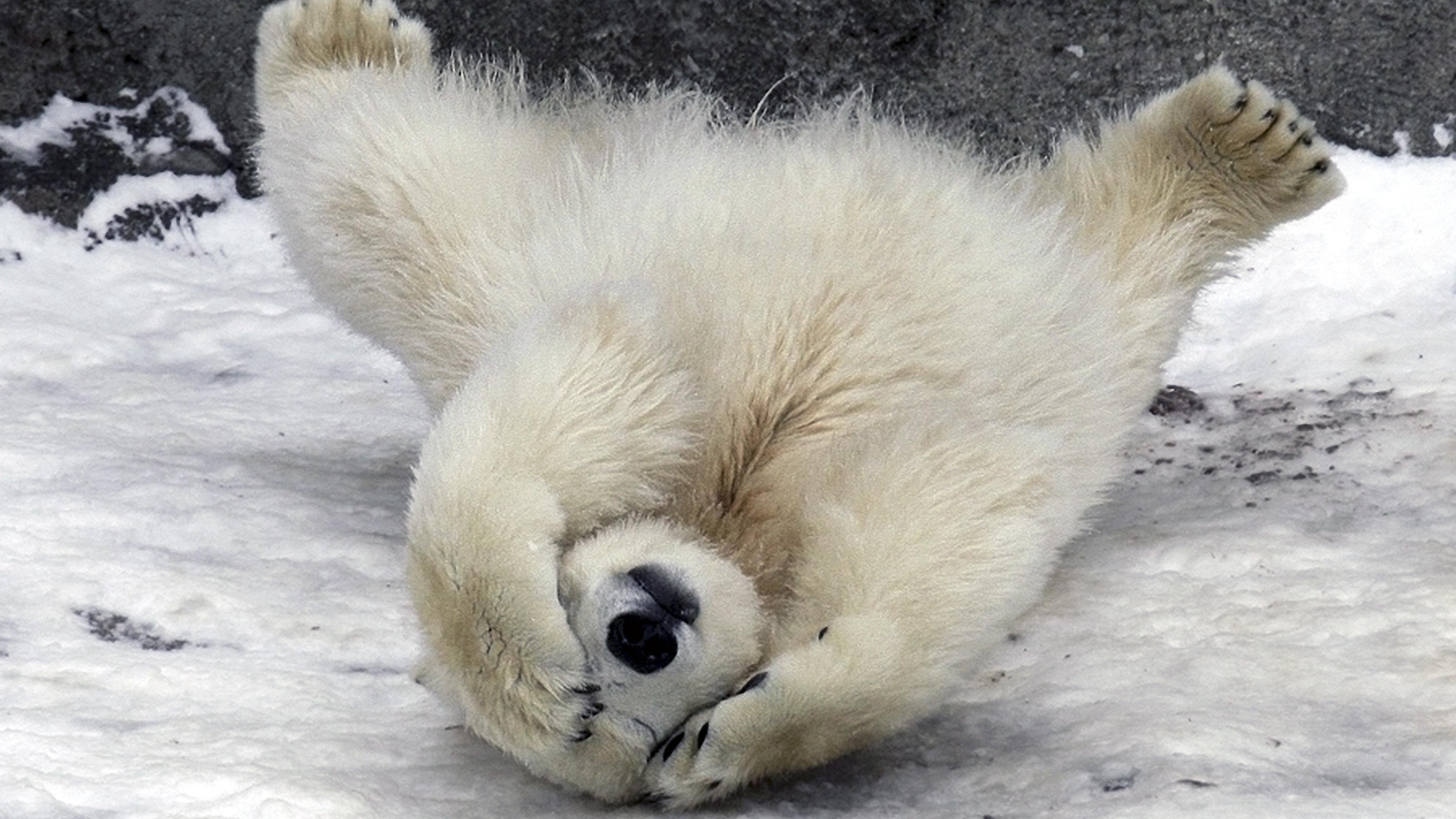 polar_bear_wool_fur_down_snow_ultra_3840x2160_hd-wallpaper-50677