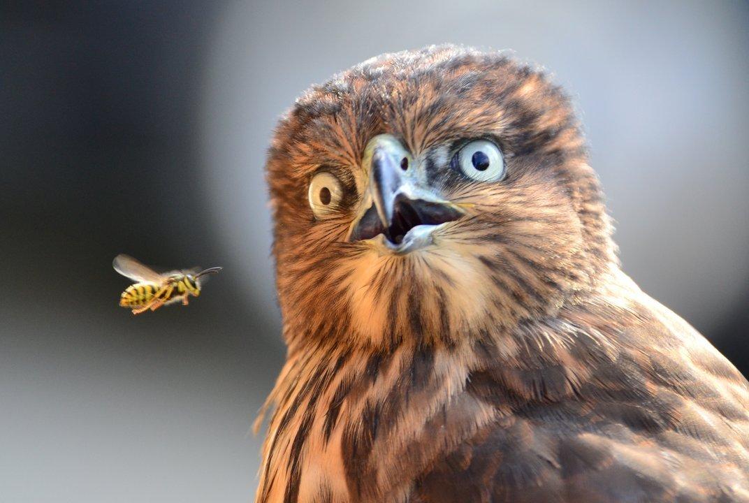post-42143-surprised-owl-hawk-bee-Imgur-p-hNWH