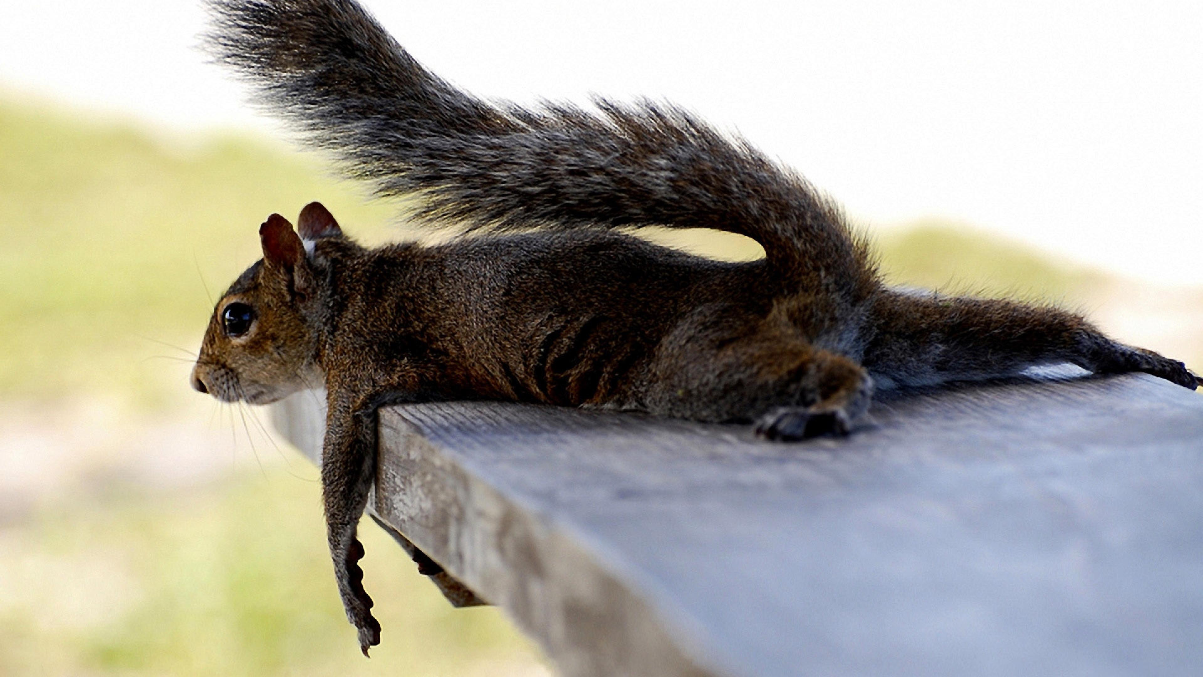 squirrel_lying_mammal_tired_ultra_3840x2160_hd-wallpaper-69799