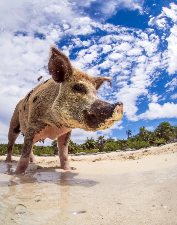 swimming-pigs-bahamas-big-major-cay-101