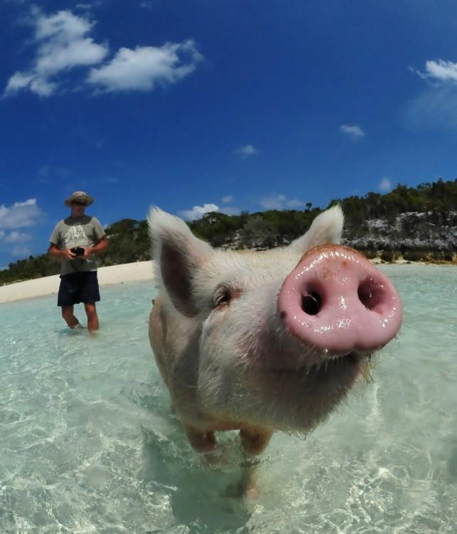 swimming-pigs-bahamas-big-major-cay-181