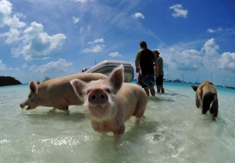 swimming-pigs-bahamas-big-major-cay-201