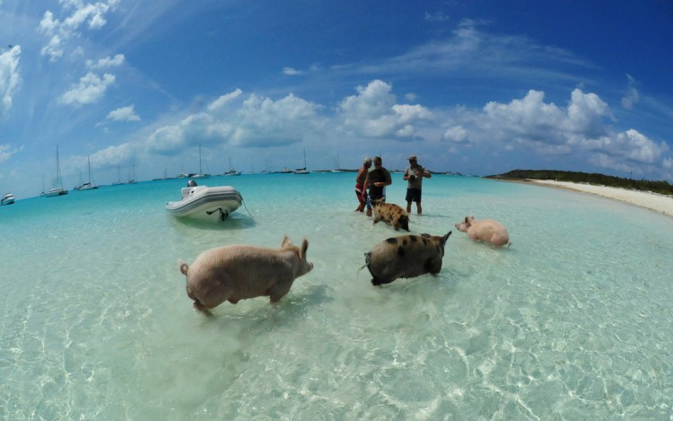 swimming-pigs-bahamas-big-major-cay-231