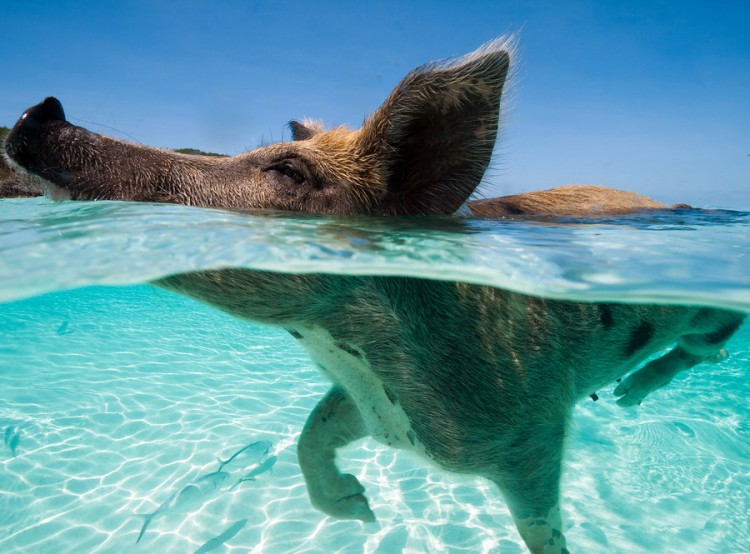 swimming-pigs-pig-island-beach-bahamas-011