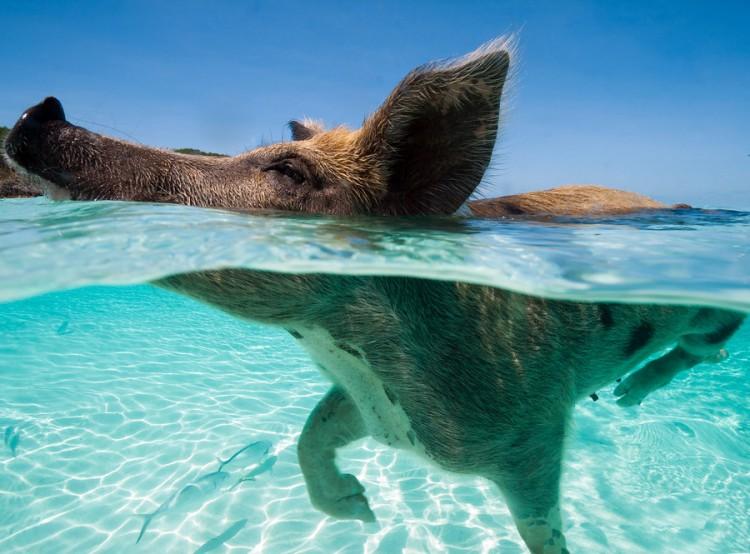 swimming-pigs-pig-island-beach-bahamas-011