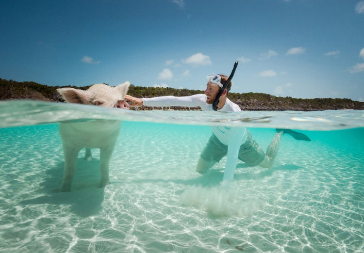 swimming-pigs-pig-island-beach-bahamas-021