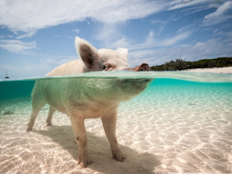 swimming-pigs-pig-island-beach-bahamas-031