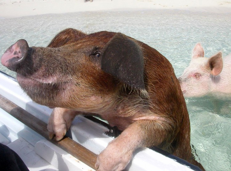 swimming-pigs-pig-island-beach-bahamas-081
