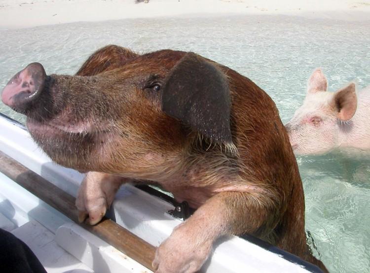 swimming-pigs-pig-island-beach-bahamas-081