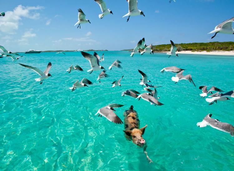 swimming-pigs-pig-island-beach-bahamas-111