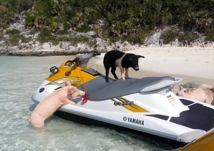 swimming-pigs-pig-island-beach-bahamas-141