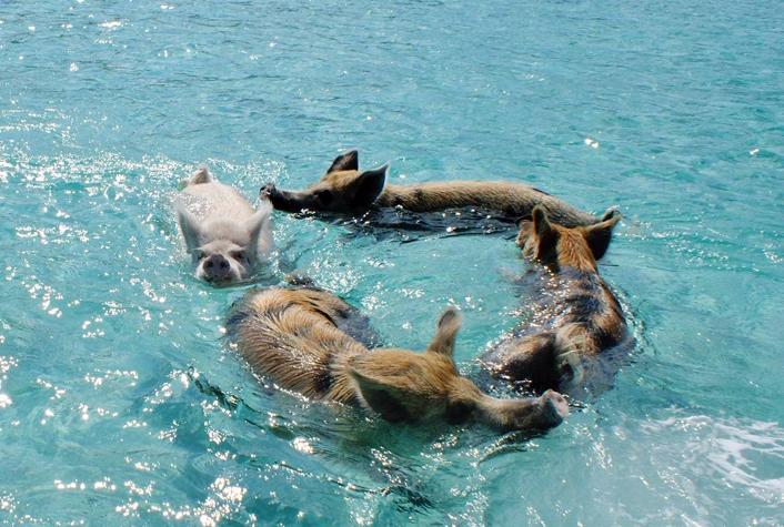 swimming-pigs-pig-island-beach-bahamas-251