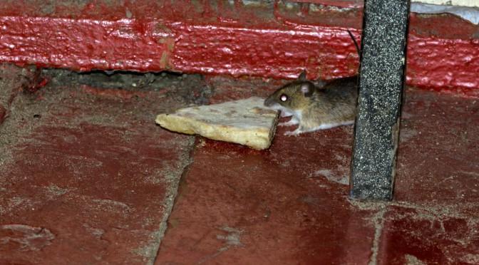 Мышка воришка, редкие кадры