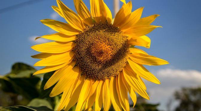 Фото недели. Солнечный цветок от уходящего лета