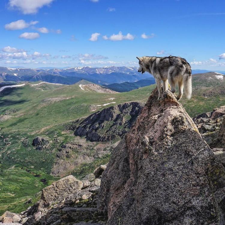 Loki-the-Wolfdog14__880