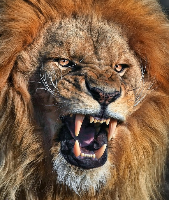No one is a match for the Angolan lion