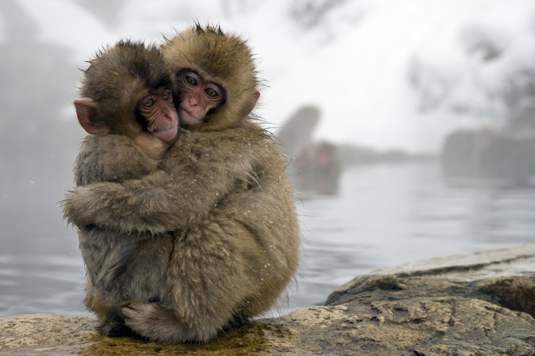 Japanese Macaque (Macaca fuscata) young embracing at edge of hot spring, Jigokudani, Joshinetsu Kogen National Park, Japan