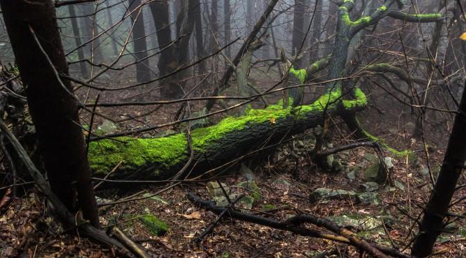 Лес в тумане. Горганы (Карпаты)